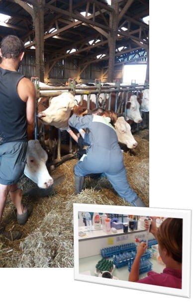 Prélèvement vaches étude stabilité